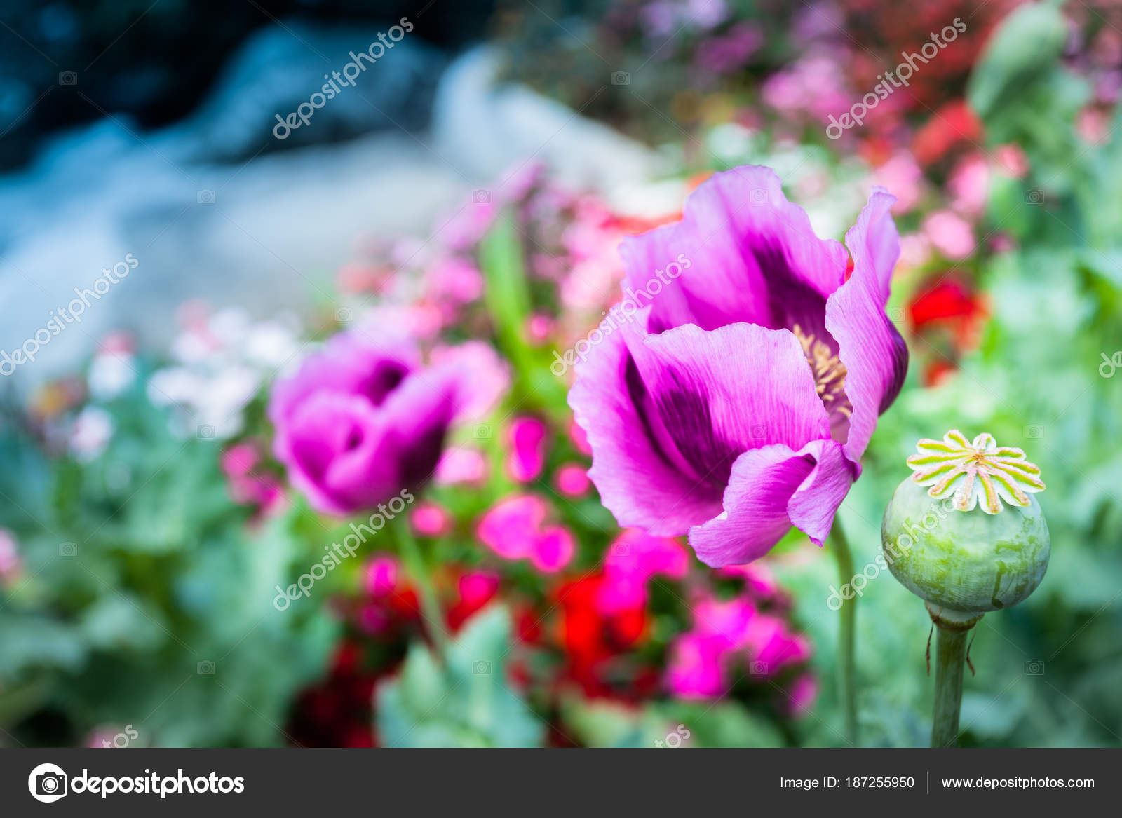 Opium can be extracted as heroin stock photo thaisign 187255950 opium poppy flower was planted for the show in hmong tribal village in a valley of doi pui to doi suthep national park chiang mai thailand mightylinksfo