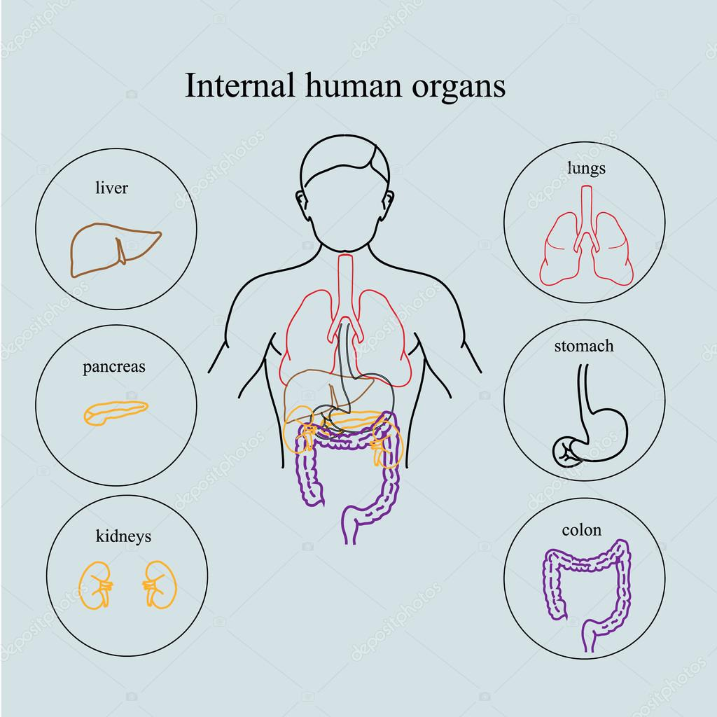 Internal Organs In A Human Body Anatomy Of People Stock Vector