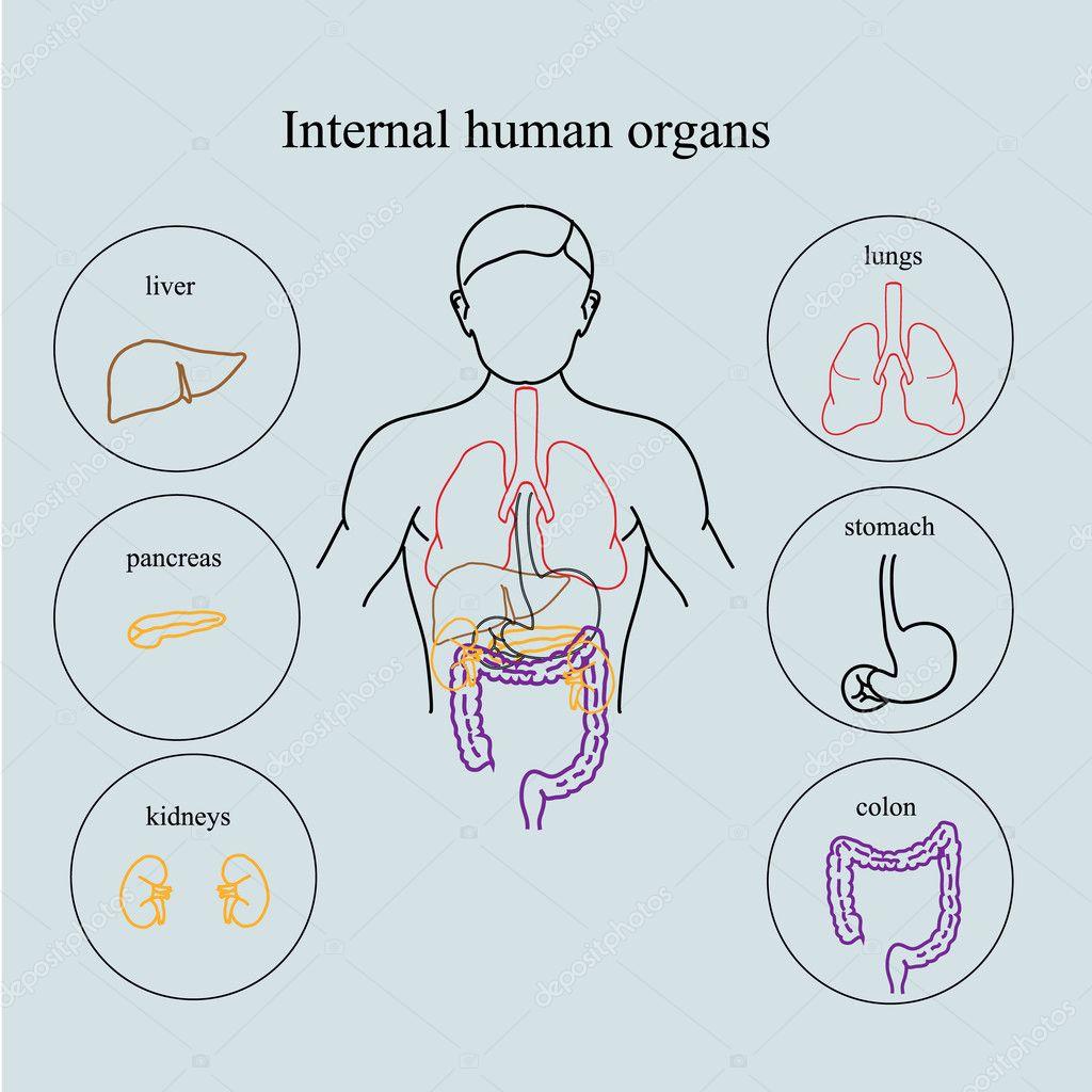 Órganos internos en un cuerpo humano. Anatomía de las personas ...