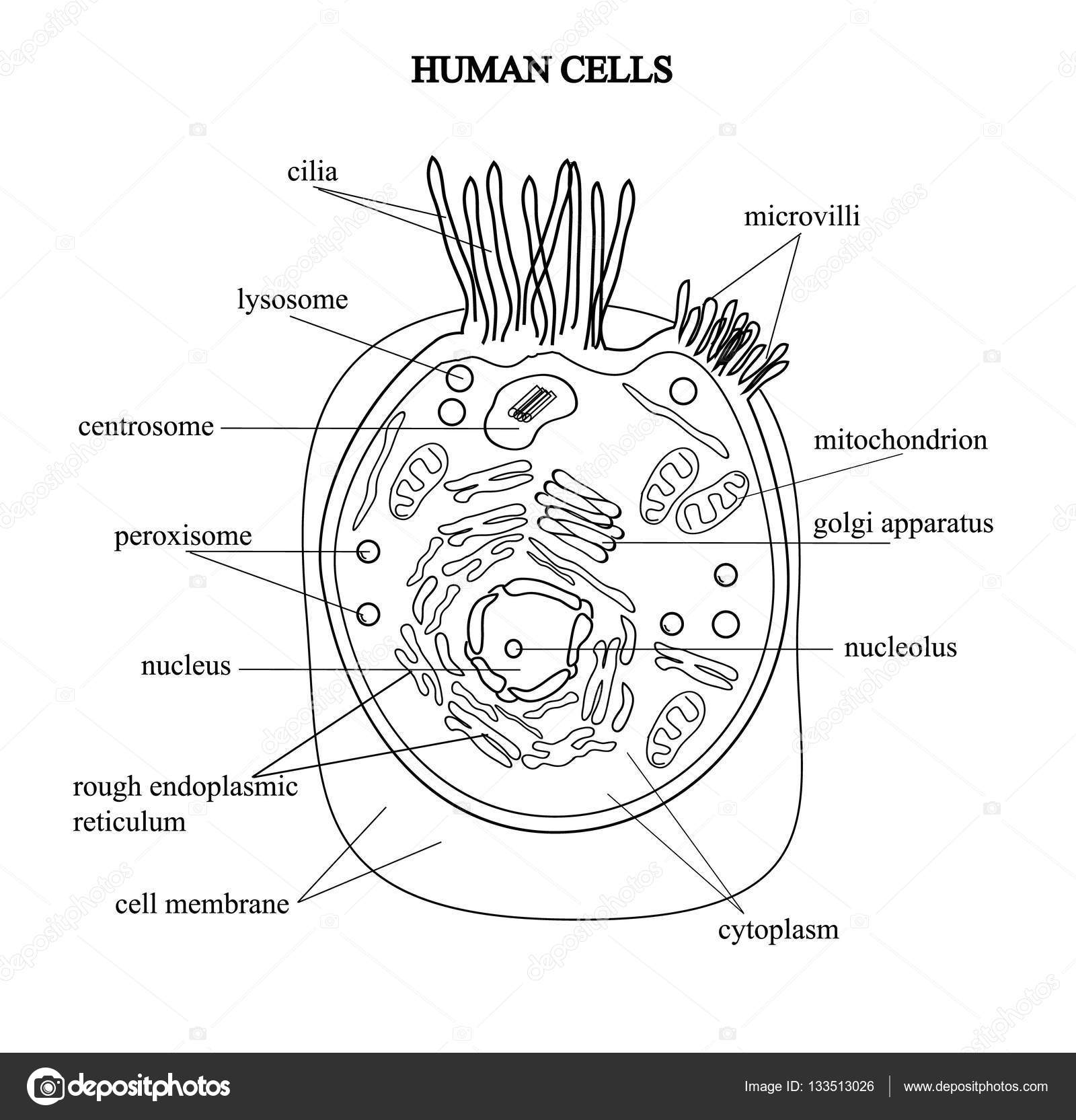 the structure of the human cells in a graphic image, cell components on a  colored