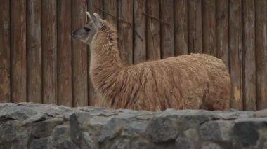 Big Lama in the Zoo.