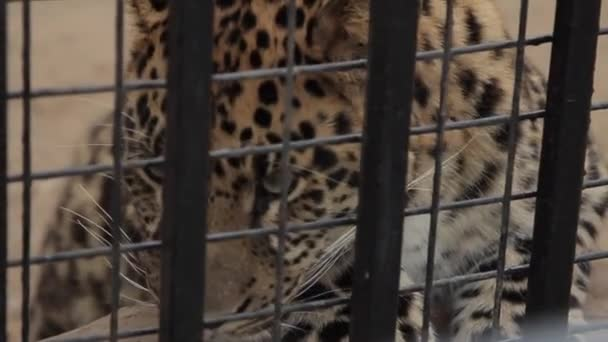 Leopard in a cage.