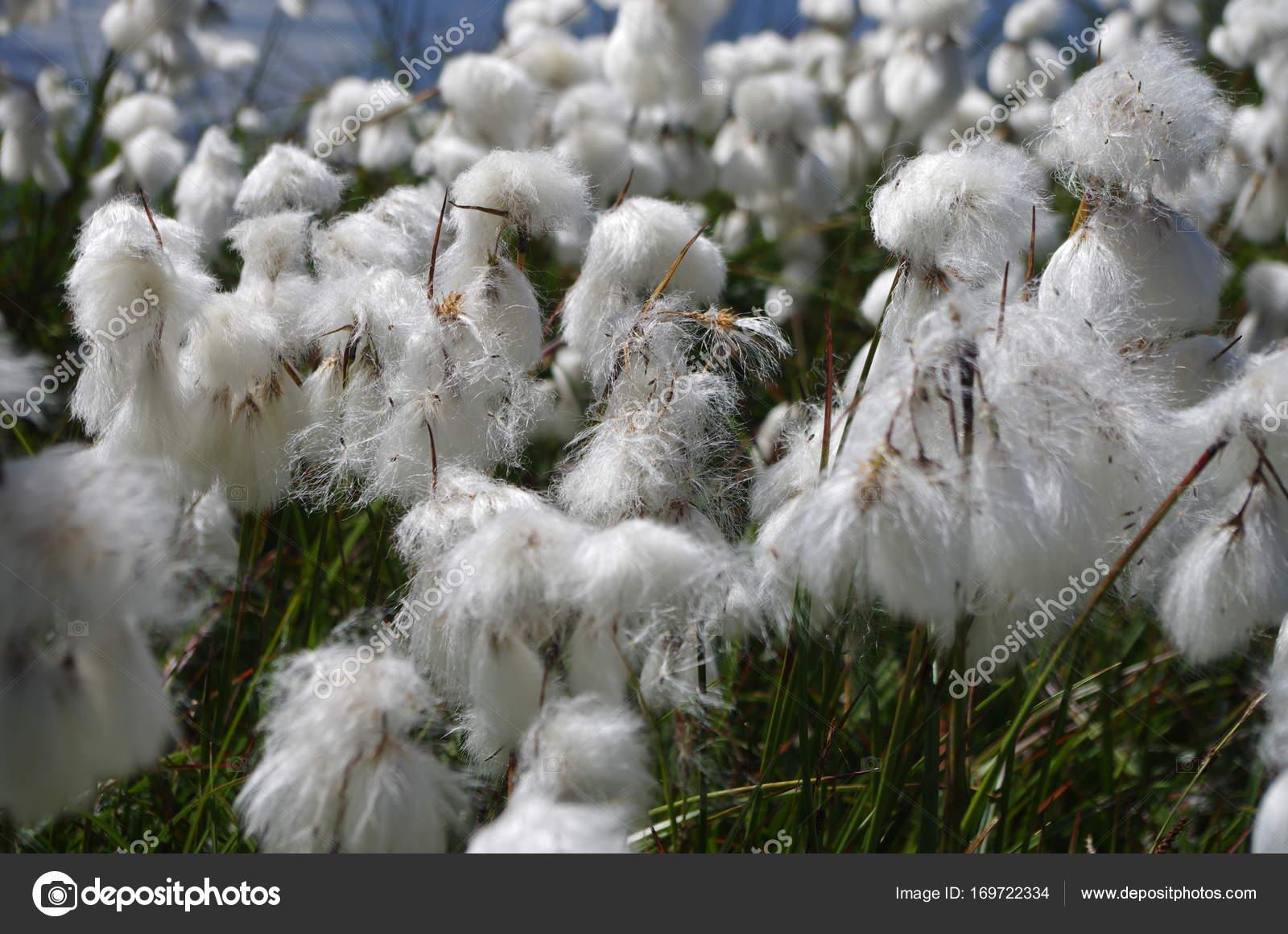 White mountain flowers stock photo ccileducrotorange 169722334 white mountain flowers stock photo mightylinksfo