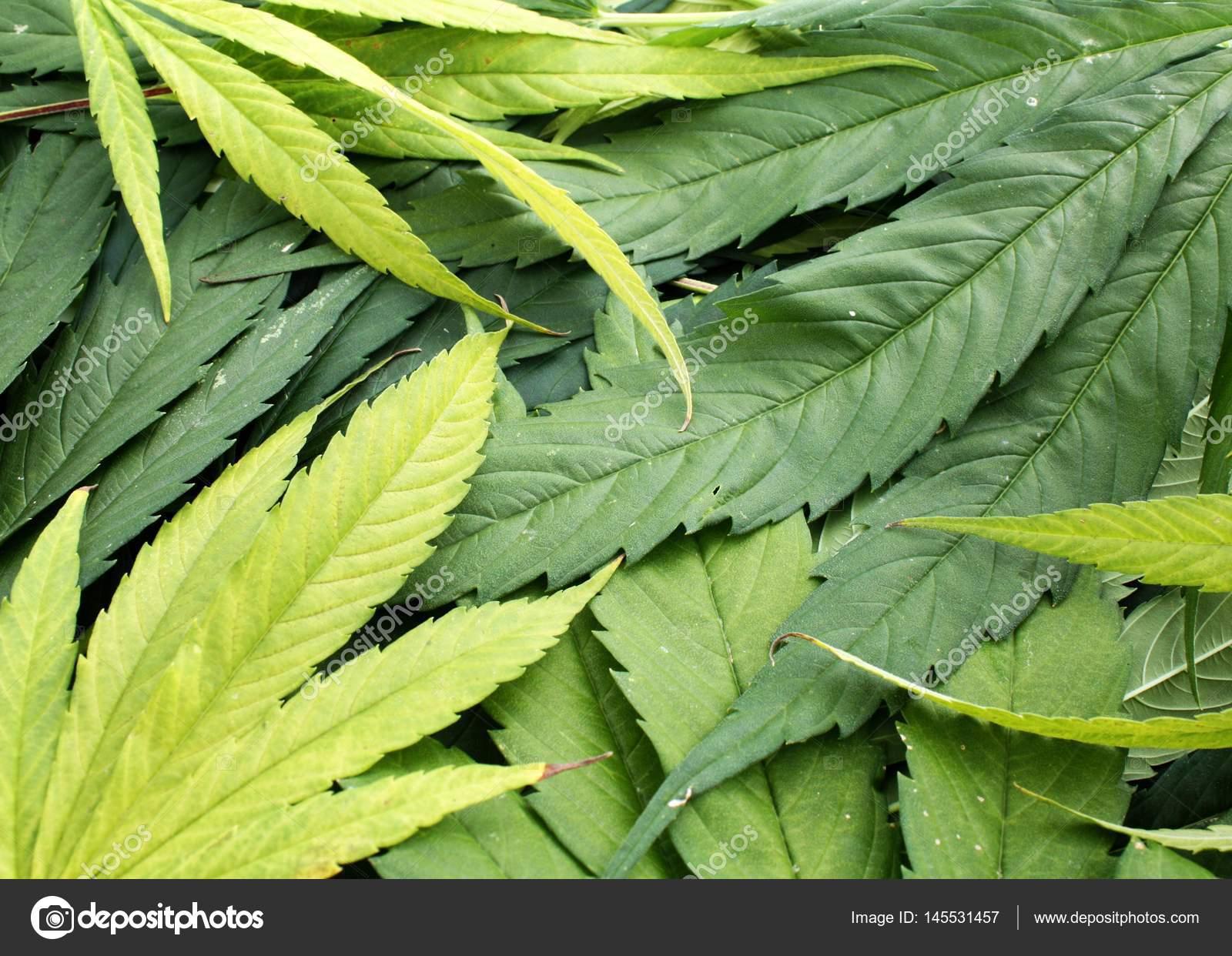 Yellow And Green Marijuana Leaves Pile Natural Photo Stock Photo