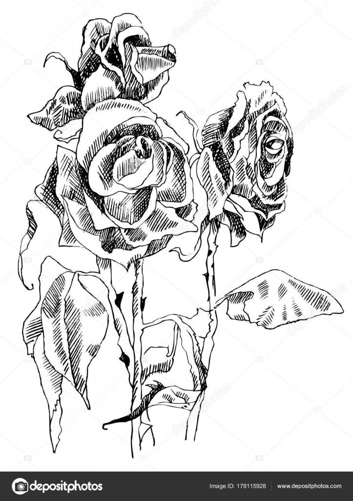 un dibujo de rosas secas blanco y negro vector de stock