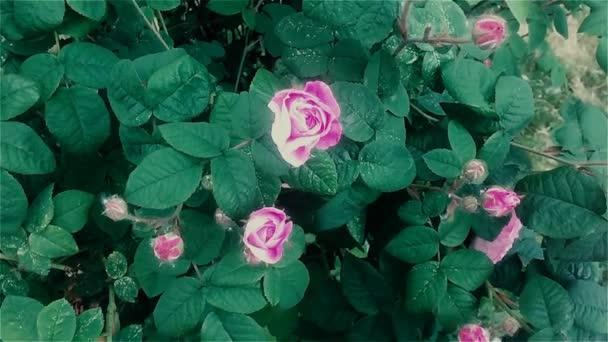 Jarní kvetoucí květiny růžové zahrady