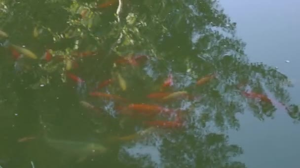 Reálném čase barevné červené ryby Koi kapři Aka Nishikigoi v tropické zahradě jezírko