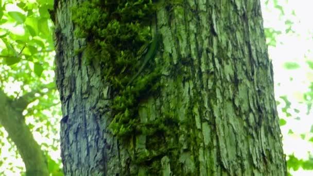 Kis zöld gyík (Lacerta agilis) mozog a fa törzse