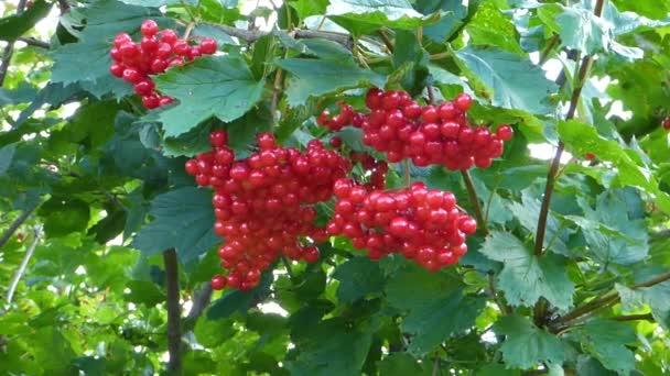 leuchtend rote Viburnum-Beeren zwischen grünen Blättern, Nahaufnahme