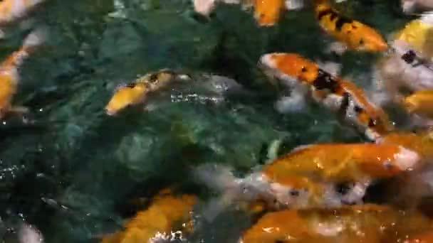 Mnoho ryb koi (Cyprinus rubrofuscus) se rychle pohybuje v temné vodě. Tradiční japonský symbol lásky, přátelství a odvaha.