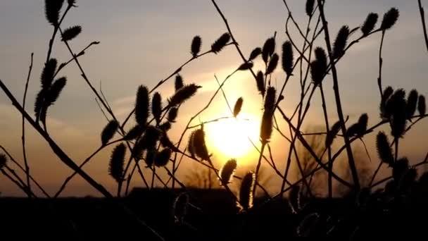 ágak egy fűzfa bolyhos fiatal rügyek integetett naplementekor a háttérben a lenyugvó nap. A sugarak ragyognak az ágakon, a szél fúj kora tavasszal.