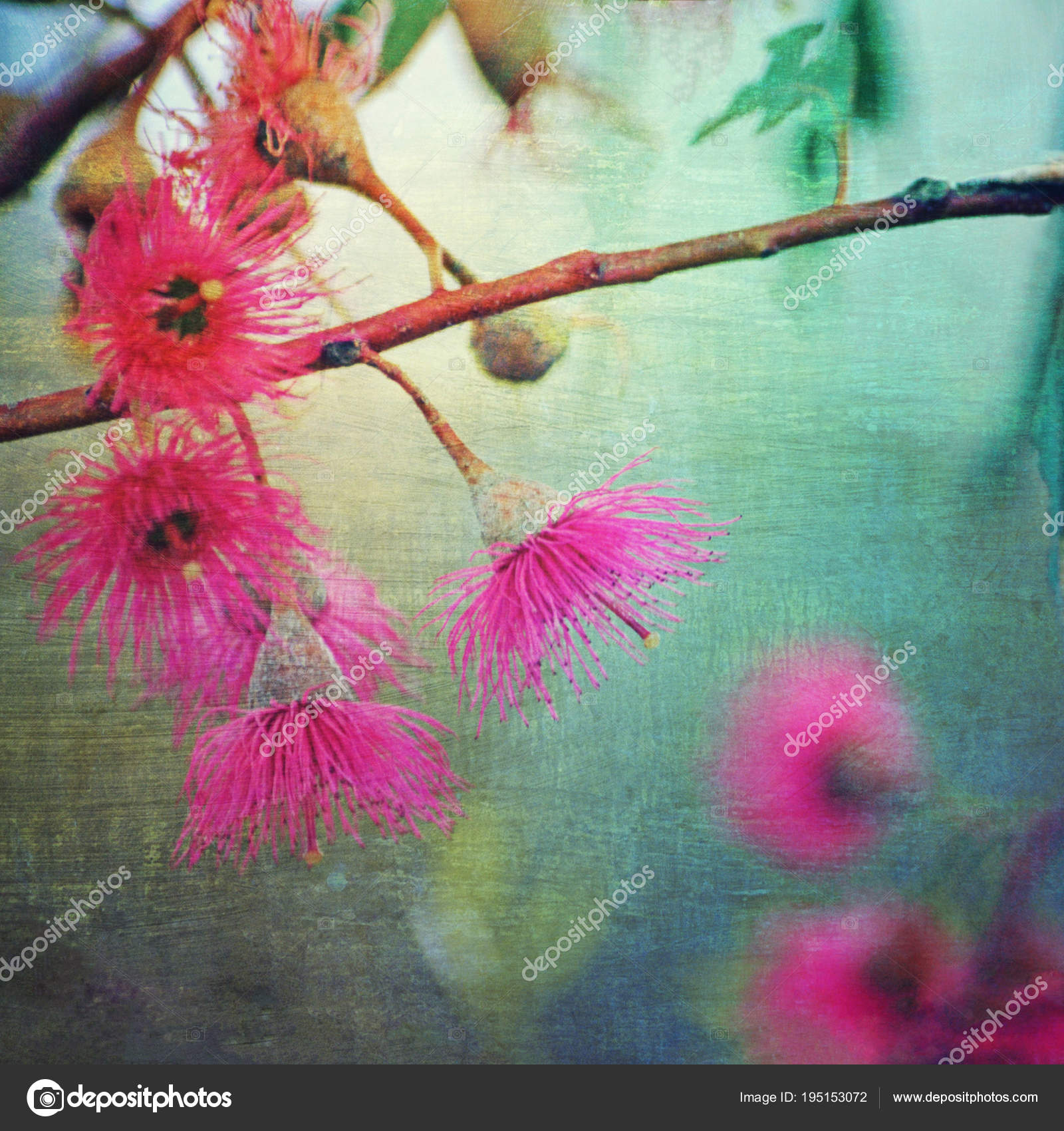 Grunge textured vintage style pink flowering gum blossoms perth grunge textured vintage style pink flowering gum blossoms perth western stock photo mightylinksfo