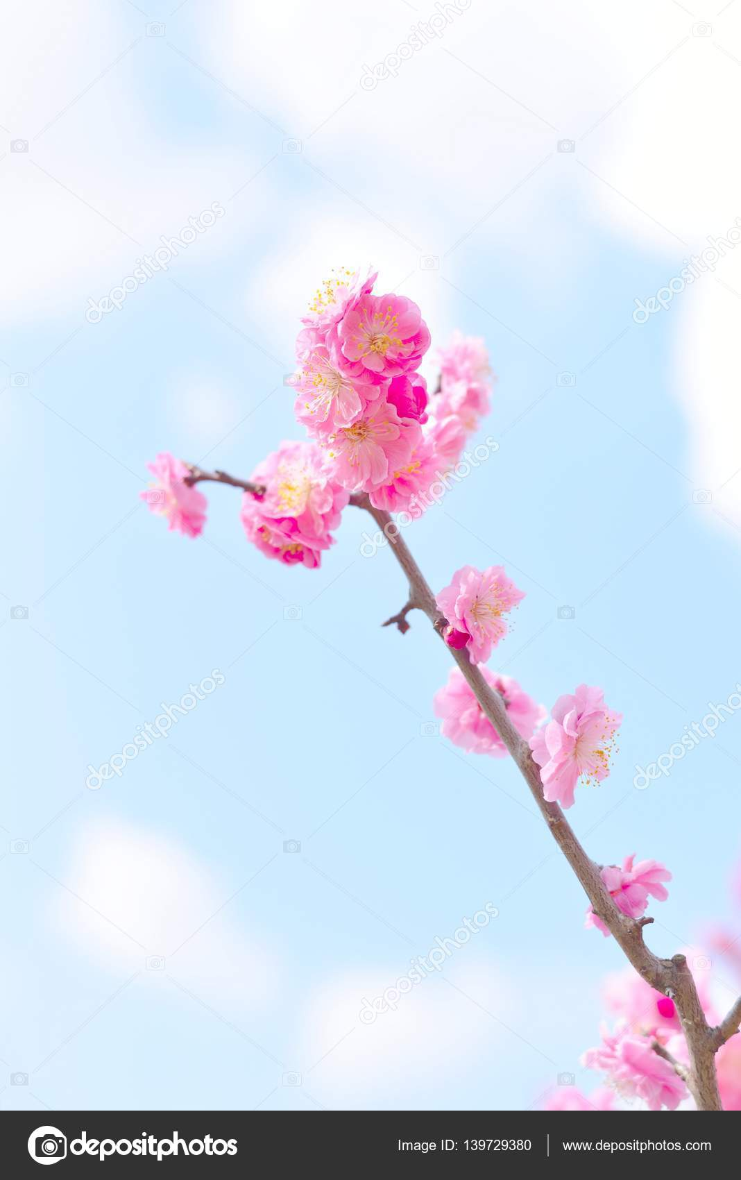 Beautiful Pink Plum Blossoms Ume In Japanese Stock Photo