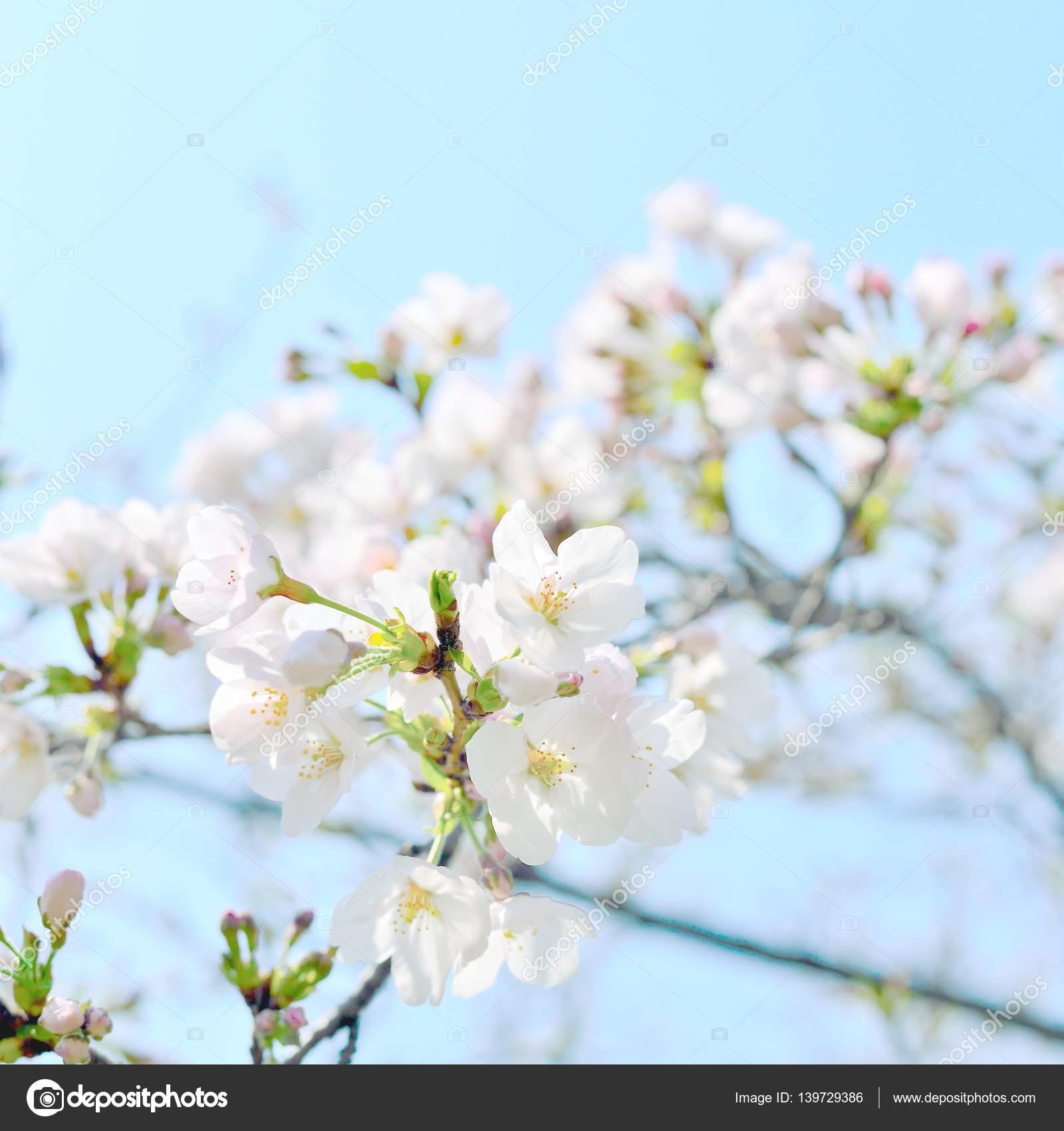 Fleurs De Cerisier Blanc Closeup Les Bourgeons Et Les Fleurs De