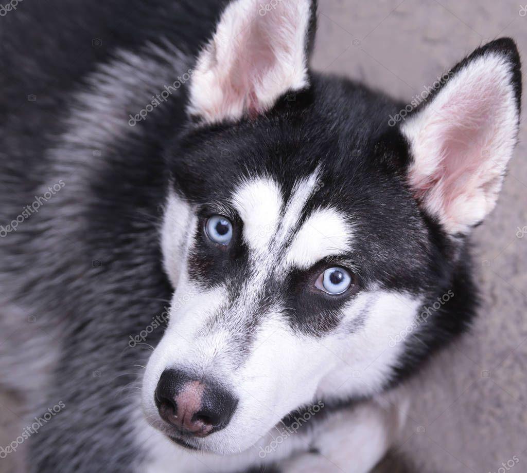 Negro Husky Siberiano Blanco Con Ojos Azules En Suelo
