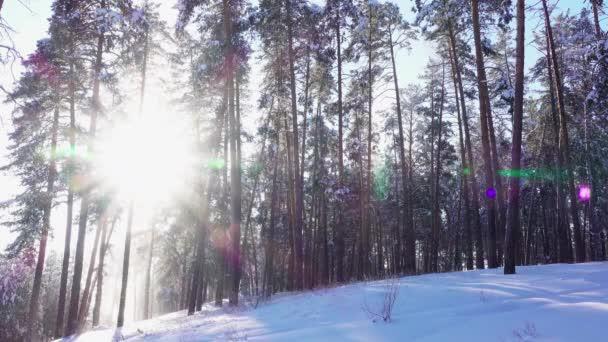 die Sonne durch die schneebedeckten hohen Kiefern