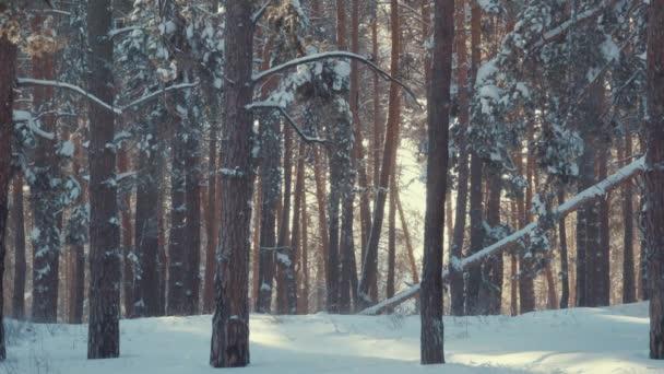 štíhlé stromy ve sněhu v zimním lese