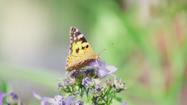 motýl opyluje fialový květ