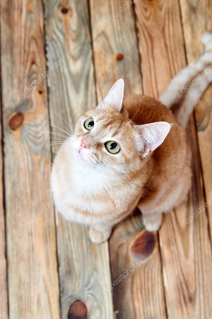 vBeautiful red cat sits on an old wooden floor. Portrait of a ginger cat. Fluffy cute cat looking up. Cat without breeds photographed from above. Magic cat with bright green eyes and clever expression.