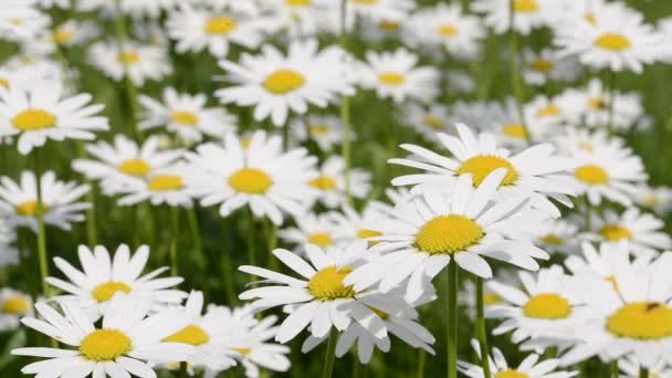 Meadow full of daisies on a summer day