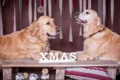 Two golden retrievers .Christmas