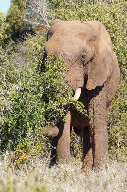Elephant trunk reaching down for a branch
