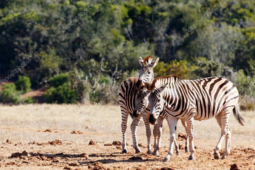 Three Zebra heads is better than One