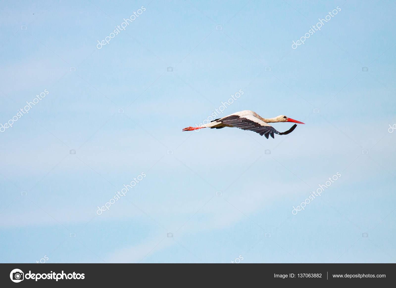 cegonha voando contra o céu stock photo sasapanchenko gmail com