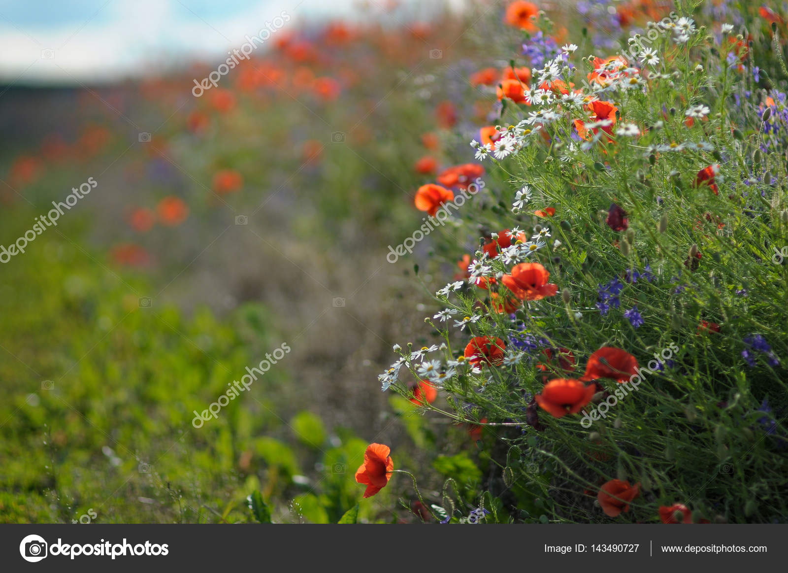 Wild flowers daisies and poppies along field paths stock photo wild flowers daisies and poppies along field paths stock photo izmirmasajfo Choice Image