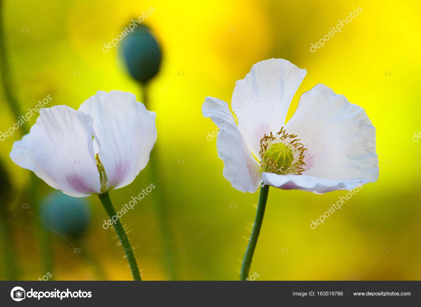 The Opium Poppy Flowers Stock Photo Sasapanchenkoail
