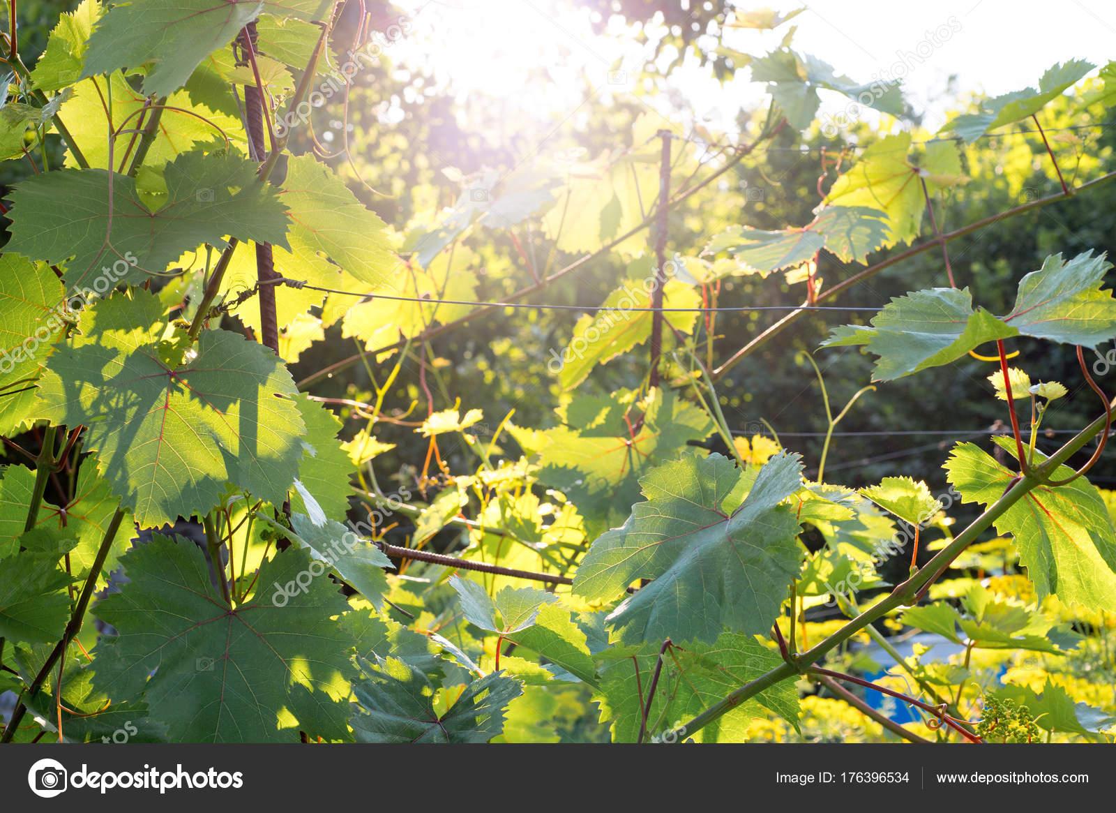 Junge Pflanze Der Traube Mit Schönen Großen Blätter Wachsen Garten