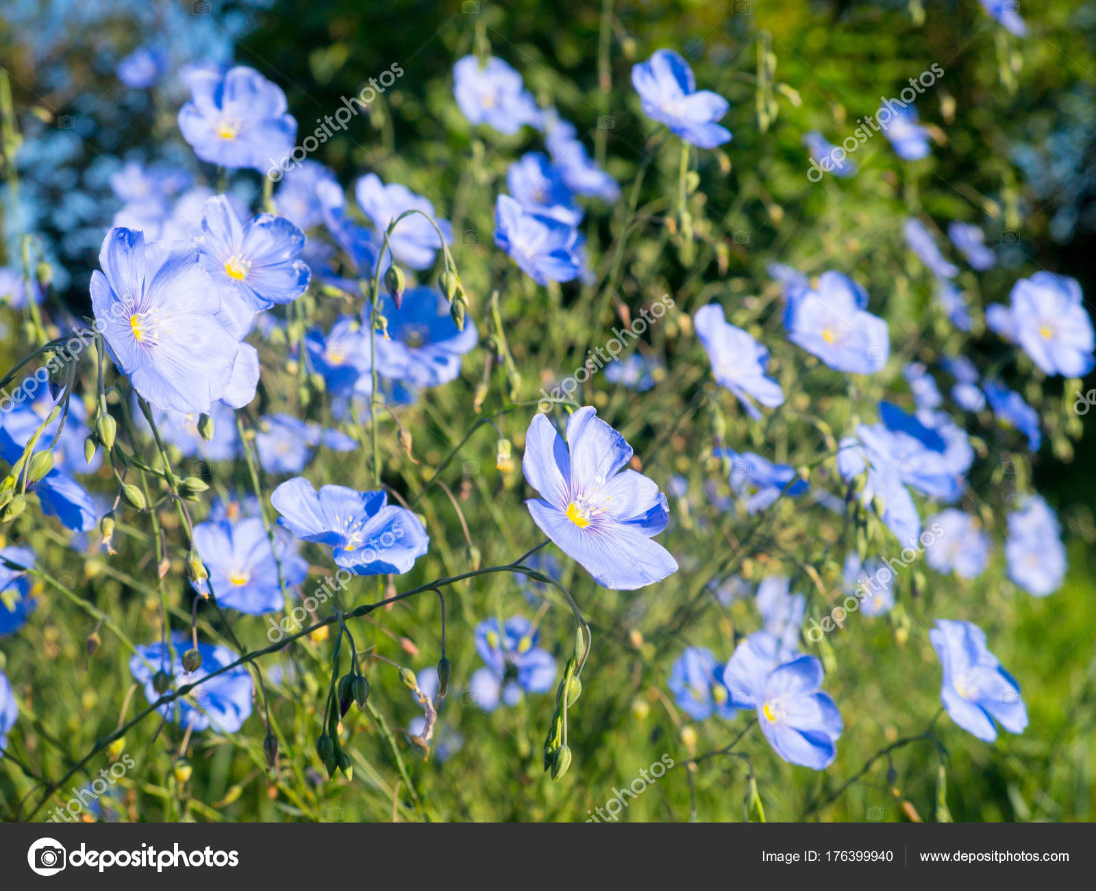 Plant with blue flax flowers selective focus stock photo plant with blue flax flowers selective focus stock photo izmirmasajfo