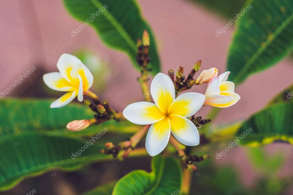 Frangipani tropical flowers from deciduous tree, plumeria