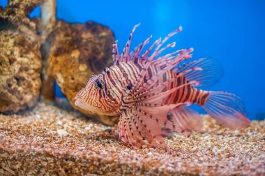 Swimming red lionfish.