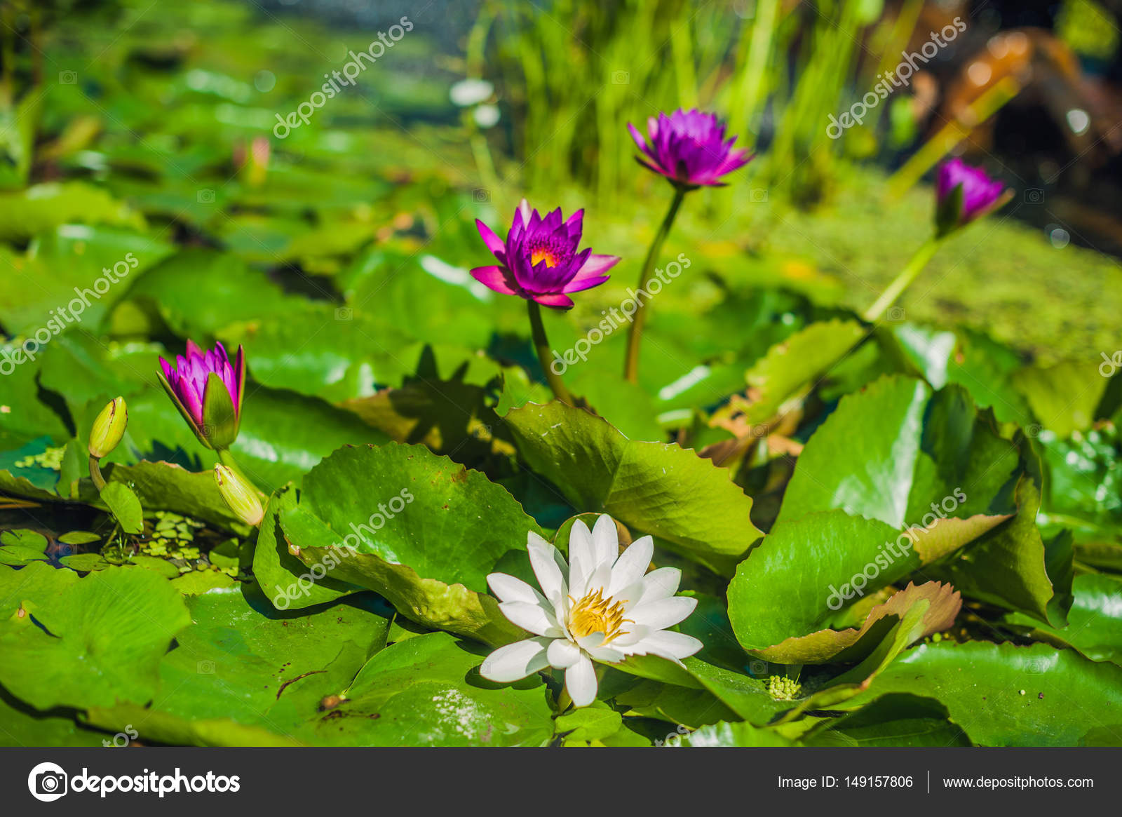 Purple White Lotus Flowers Tropical Flowers Concept Stock Photo