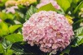 Světle růžové hortenzie Fullerovy