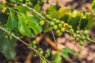 Unripe coffee beans on stem in Vietnam plantation.