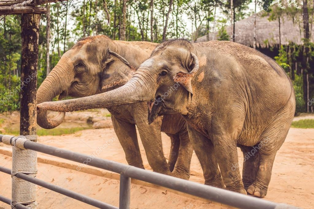 Two elephants in the zoo ask for food.