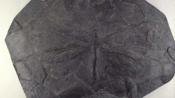 Megkövült maradványai kihalt szitakötő Meganeura a természettudományi múzeumban