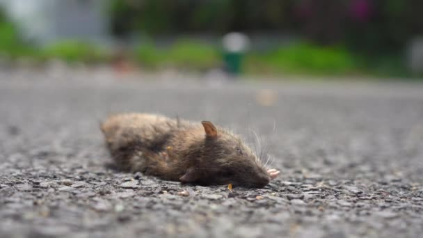 A dead rat laying on a ground. poison for rats concept