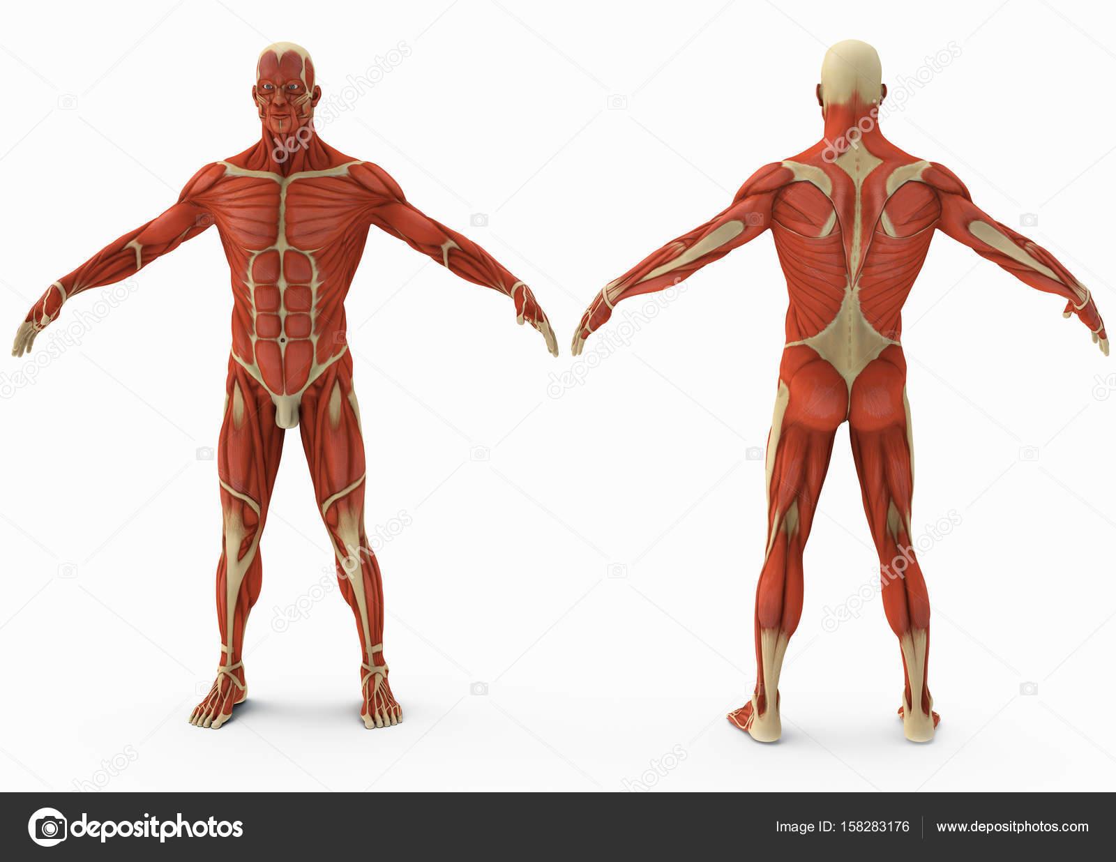 Berühmt Echte 3d Anatomie Bilder - Anatomie Ideen - finotti.info