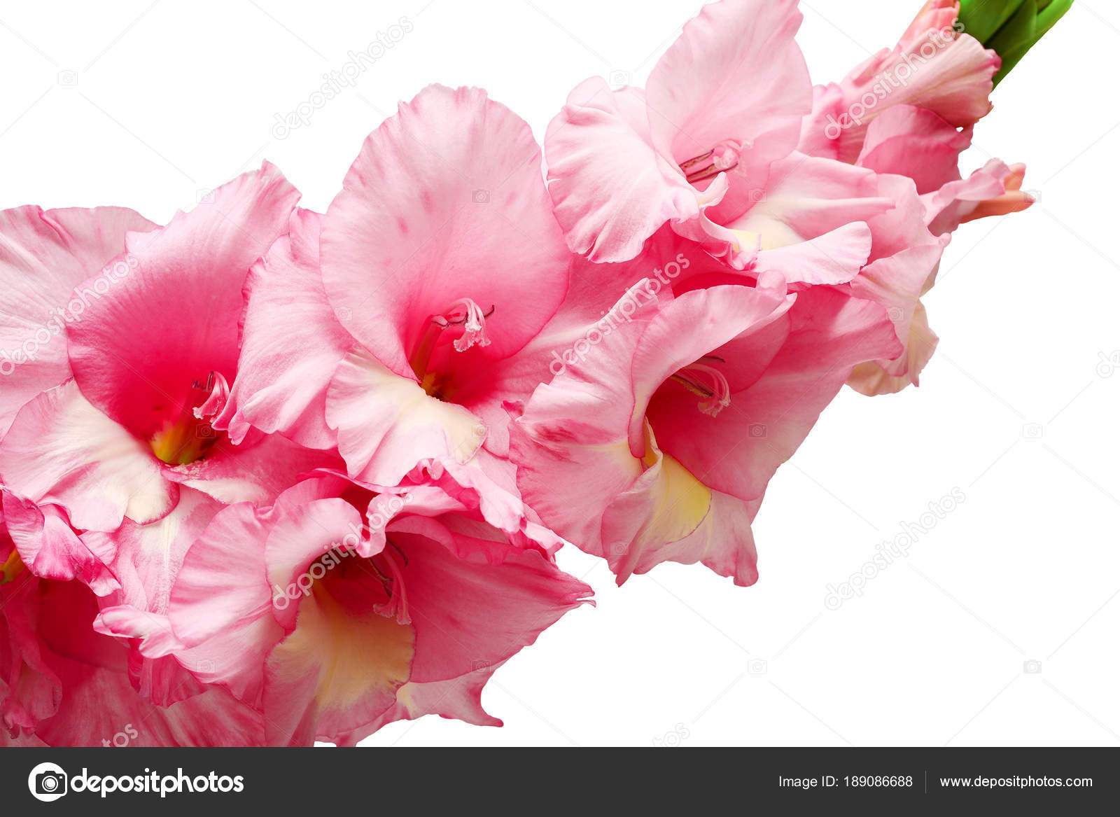 Bouquet Of Pink And Lilac Gladioli Rose Color Flowers Close Up