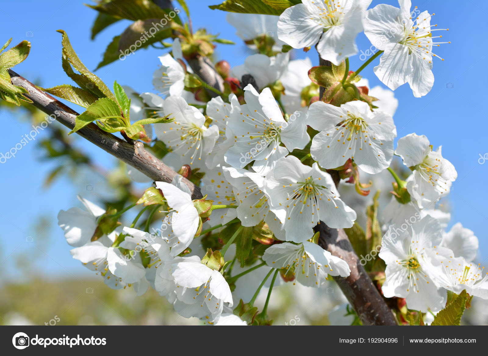 Sweet White Flowers Blooming Cherry Tree Cherries In The Spring