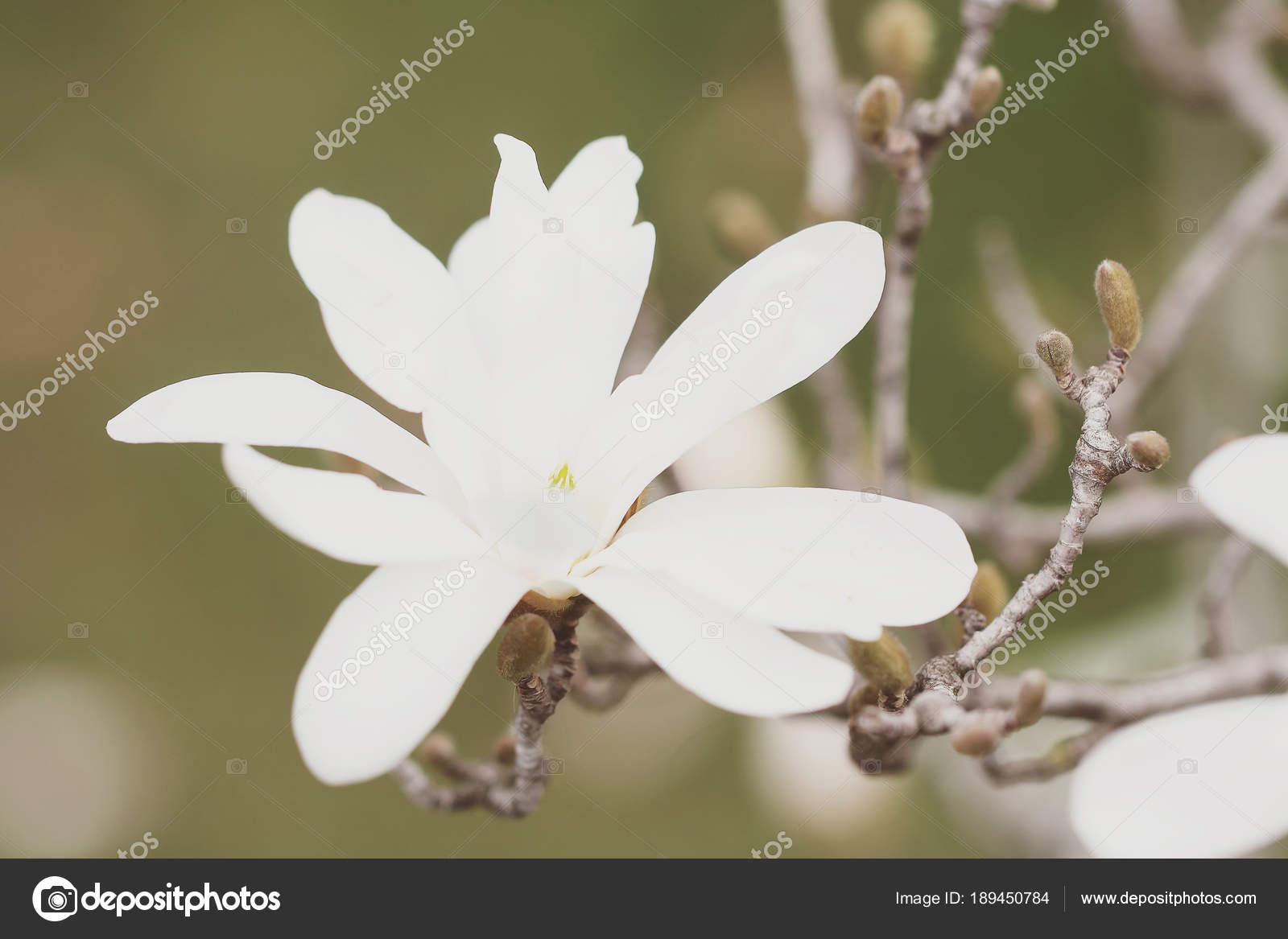 Magnolia flowers grow tree spring stock photo 26101981 189450784 magnolia flowers grow tree spring stock photo mightylinksfo