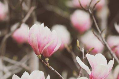 "Картина, постер, плакат, фотообои ""Магнолия Цветы растут на дереве весной"", артикул 189450818"