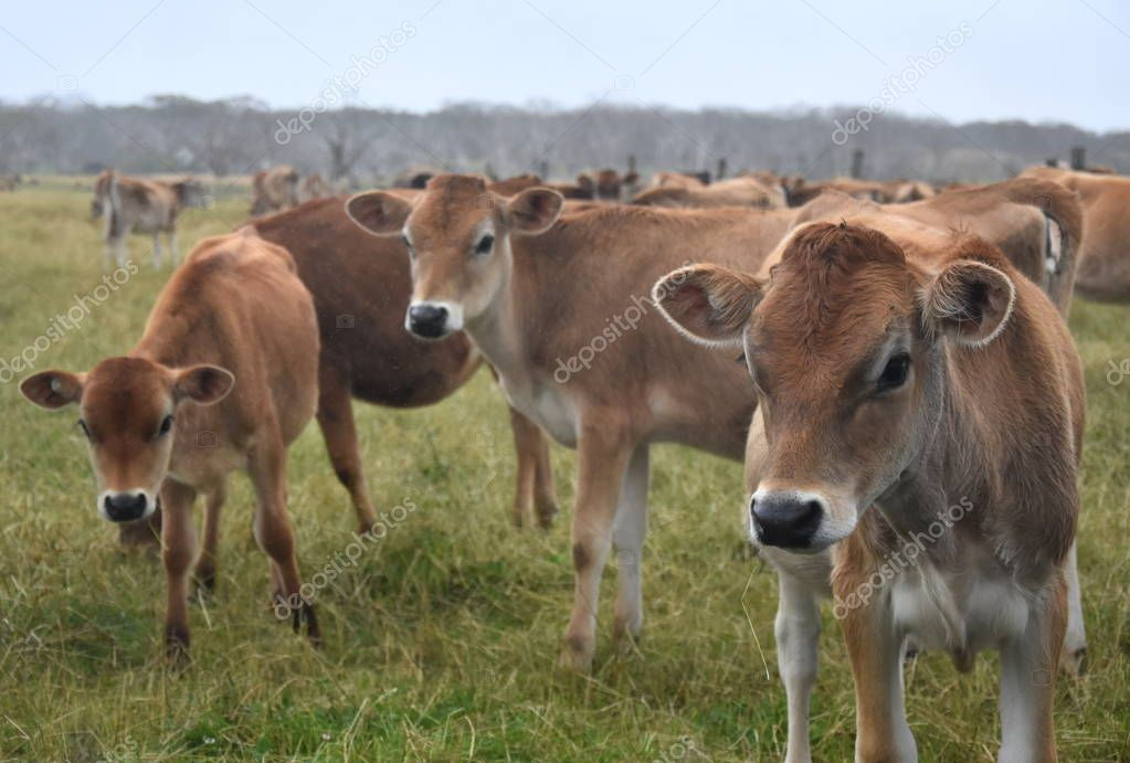Cows in the Pasture Corral.