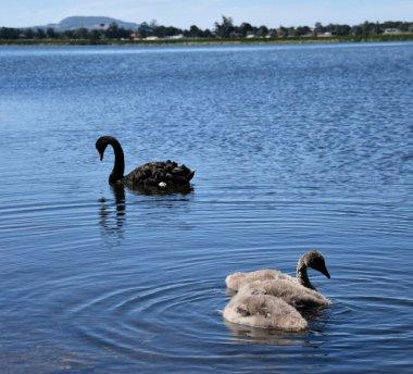 Beautiful black swans