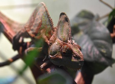 Chameleon reptile with colorful body on a branch