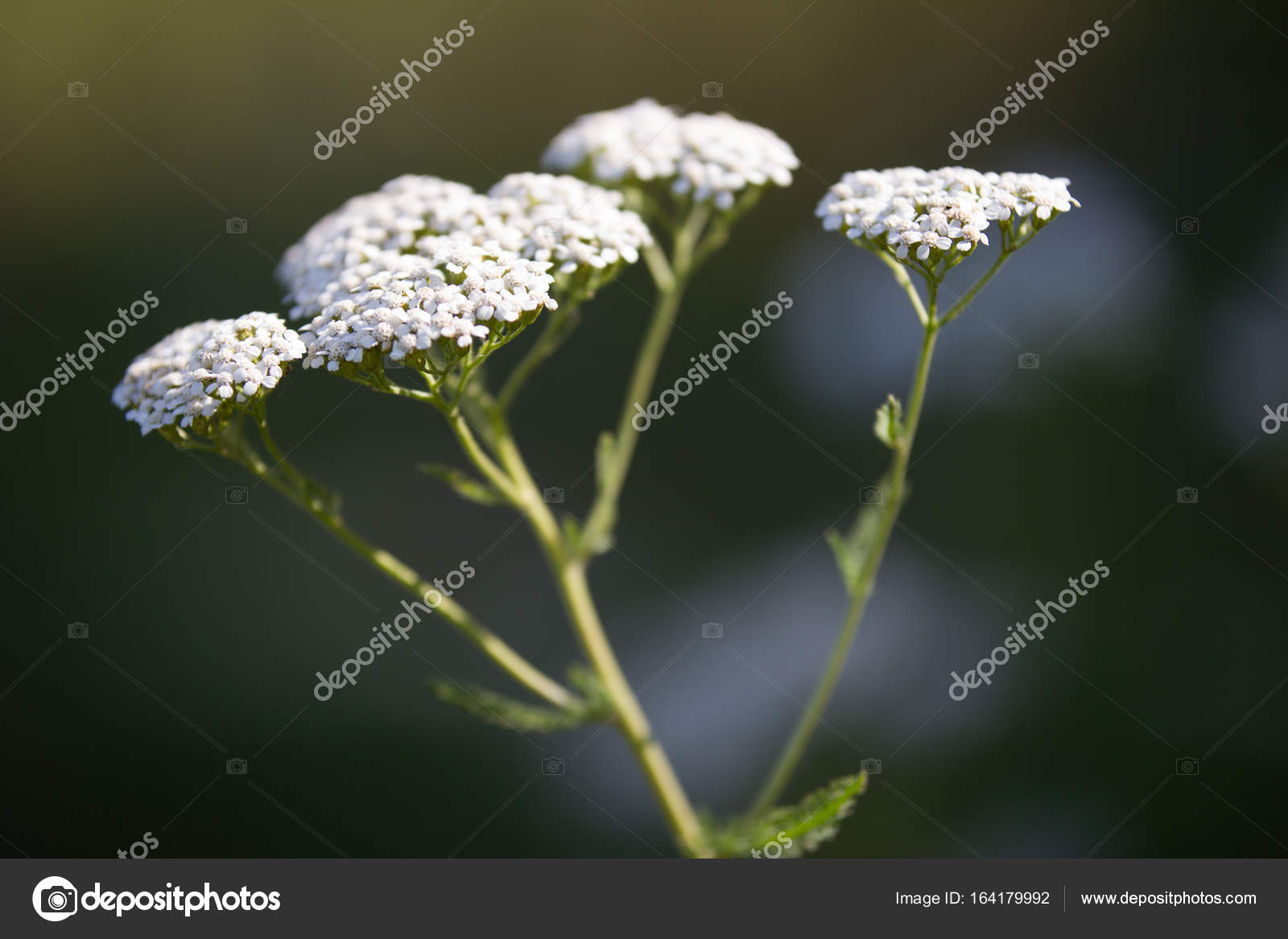 White Flowers Background Flower Euphorbia Close Up View Stock