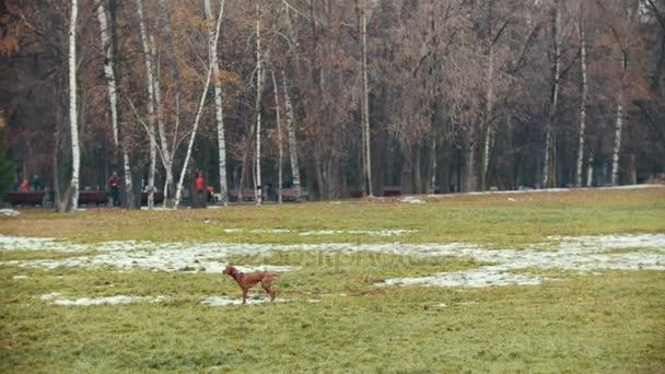Hund läuft im Herbstpark und spielt mit Spielzeug, Zeitlupe